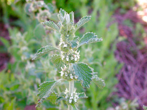 horehound extract